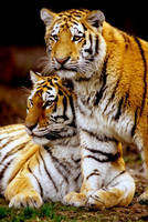 Two Tiger Cubs 2 by Art-Photo