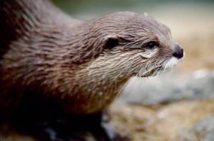 Asian Otter 5 by Art-Photo
