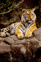 Tiger 30 by Art-Photo
