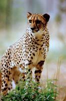 Cheetah 17 by Art-Photo