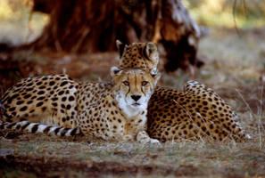 Two Cheetahs 8 by Art-Photo