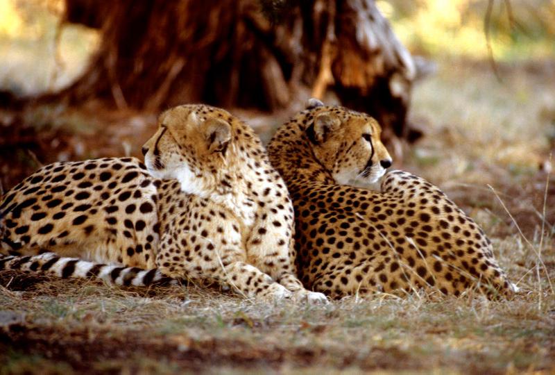Two Cheetahs 9 by Art-Photo