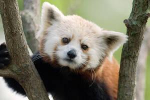 Red Panda 6 by Art-Photo