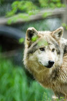 Mexican Wolf 12 by Art-Photo