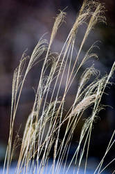 Winter Grass by Art-Photo