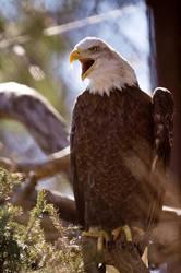 Bald Eagle 15 by Art-Photo