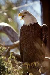 Bald Eagle 16 by Art-Photo