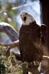 Bald Eagle 17 by Art-Photo