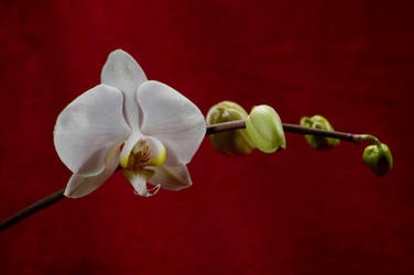 Orchid Bloom by Art-Photo
