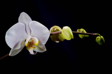 Orchid Bloom 3 by Art-Photo