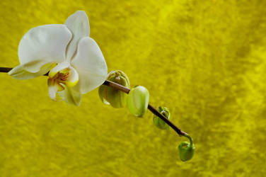 Orchid Bloom 8 by Art-Photo