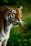 Tiger by Art-Photo