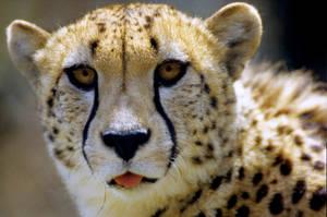 Cheetah by Art-Photo