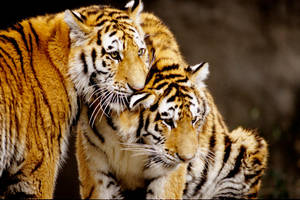 Two Tiger Cubs by Art-Photo