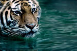 Tiger in Water 3 by Art-Photo