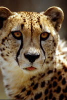 Cheetah 2 by Art-Photo