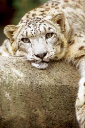 Snow Leopard 13 by Art-Photo
