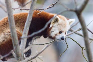 Red Panda 2 by Art-Photo