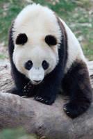 Giant Panda Cub by Art-Photo