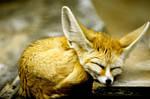 Fennec Fox by Art-Photo