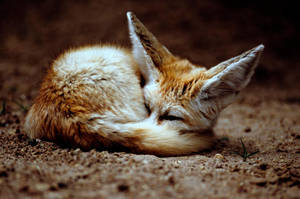 Fennec Fox 2 by Art-Photo