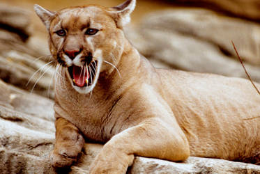 Cougar 3 by Art-Photo