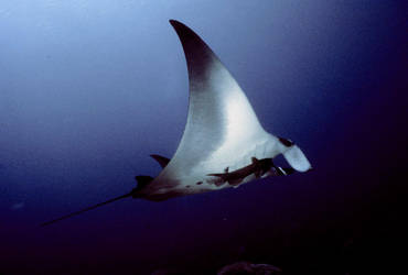 Mantaray 1 by Art-Photo