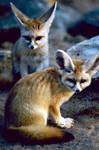 Fennec Fox 3 by Art-Photo
