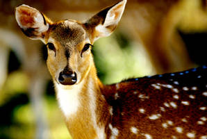 Deer by Art-Photo
