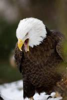 Bald Eagle 10 by Art-Photo