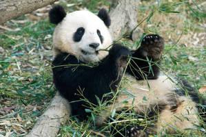 Giant Panda Cub 5 by Art-Photo
