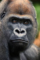 Western Lowland Gorilla by Art-Photo