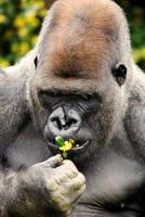 Western Lowland Gorilla 4 by Art-Photo
