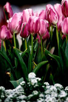 Tulips 2 by Art-Photo