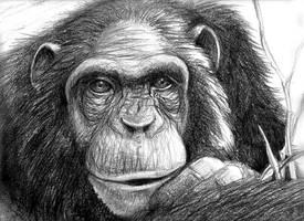 RIP Chimp by Damalia