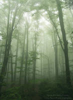 the foggy forest by tipoe