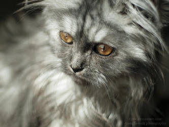 The persian kitty VI by tipoe