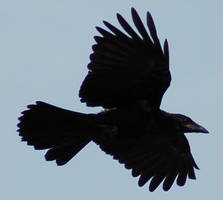 Crow 2 by SalsolaStock
