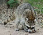 Raccoon 2 by SalsolaStock