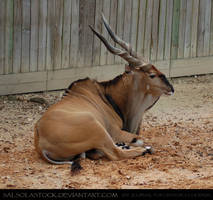 Giant Eland 1 by SalsolaStock