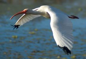 White Ibis Flight 2 by SalsolaStock