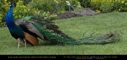 Peacock by SalsolaStock