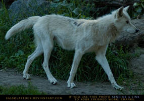 Gray Wolf 1 by SalsolaStock