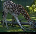Giraffe Yoga 1 by SalsolaStock