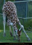 Giraffe Yoga 2 by SalsolaStock