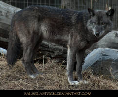 Gray Wolf 6 by SalsolaStock