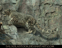 Snow Leopard 7 by SalsolaStock
