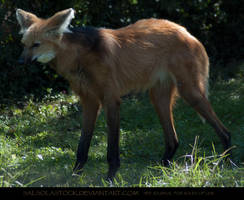 Maned Wolf 1 by SalsolaStock
