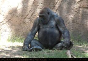 Gorilla 07 by SalsolaStock