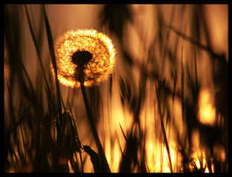 Fire Dandelion by DSent